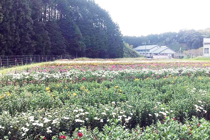 近藤ファミリー / 菊を育てるほんわり癒し系おしどり夫婦